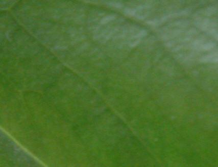 Chlorophyle