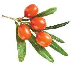 fruit argousier